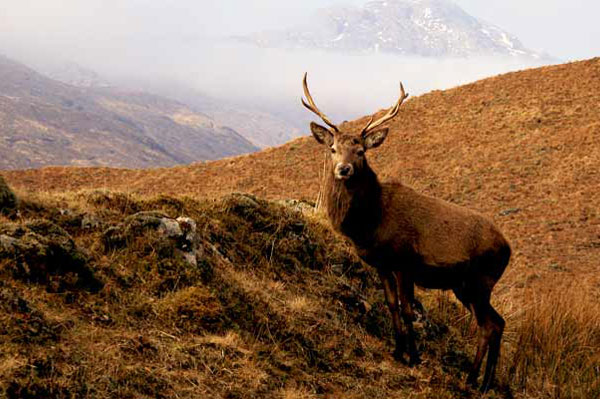 Red deer stag Glen Cannich